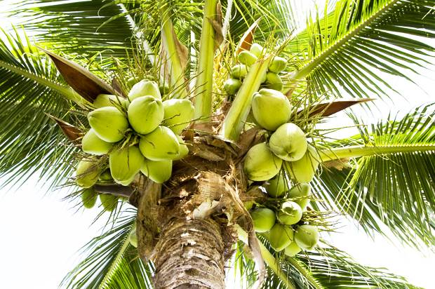 coconuts growing on a palm tree
